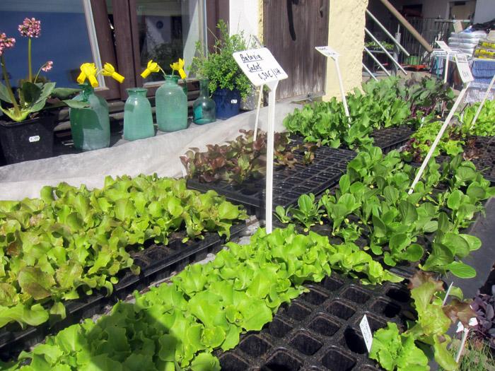 Jungpflanzen vom Chiemsee