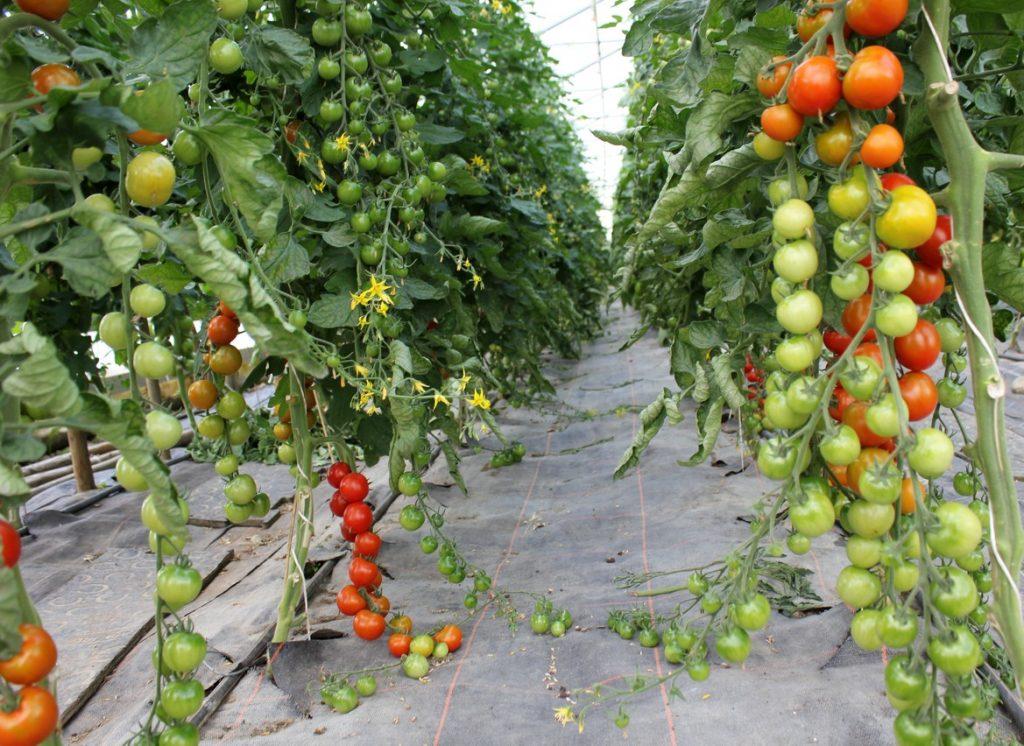 tomaten vom chiemsee