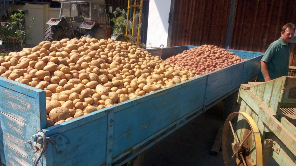 bioland-gaertnerei dandl kartoffelernte