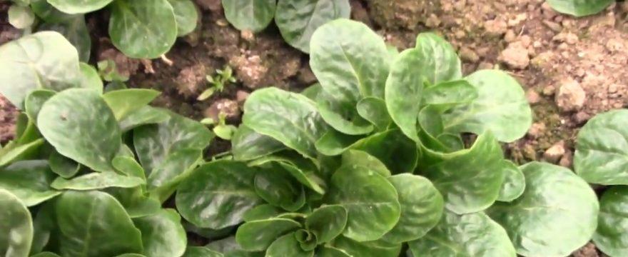 Bio-Salat Ernte im Winter – knackfrisch