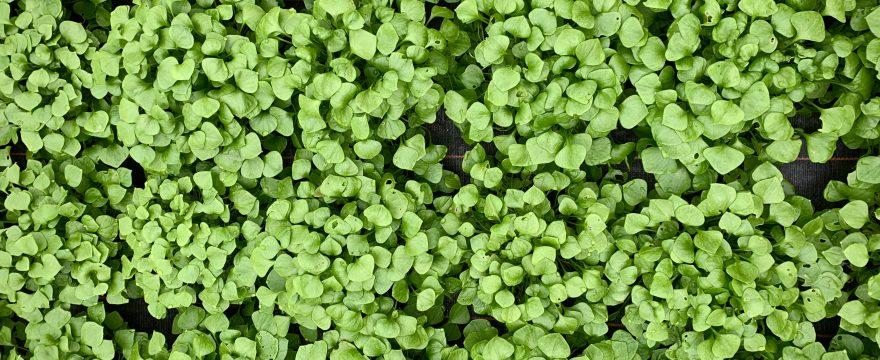 postelein-salat-biohof-dandl